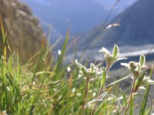 Edelweiss_by_VersScharrelEi